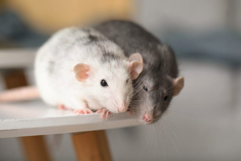 how to get rid of mice under concrete
